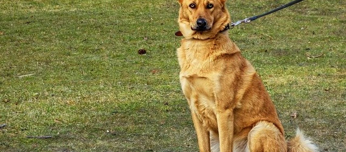 רצועה של כלב